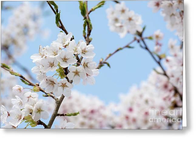 Yoshino Cherry Blossom Greeting Card by Tim Gainey
