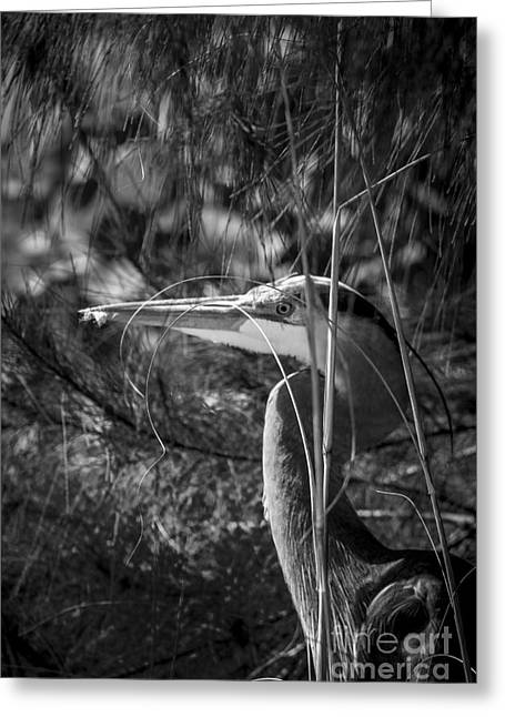 Wading Bird Greeting Cards - You Cant See Me-bw Greeting Card by Marvin Spates
