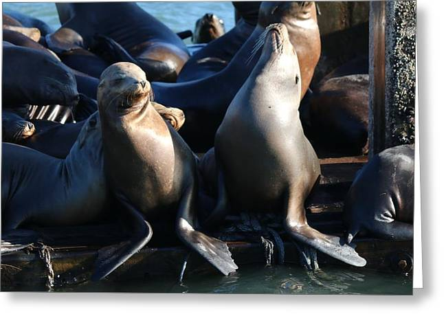 Sea Lions Greeting Cards - You Stink  Greeting Card by Christy Pooschke