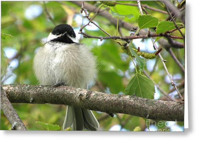Chickadee Greeting Cards - Young Black-Capped Chickadee Greeting Card by Angie Rea