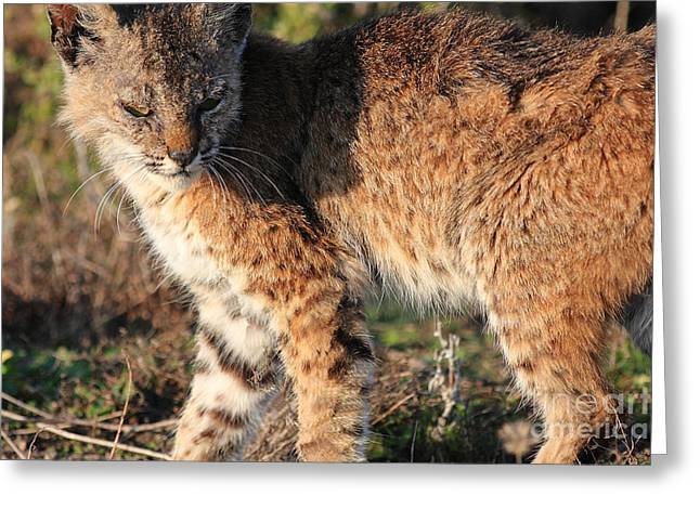 Bobcat Greeting Cards - Young Bobcat 01 Greeting Card by Wingsdomain Art and Photography