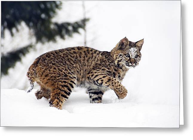 Bobcat Greeting Cards - Young Bobcat playing in snow Greeting Card by Melody Watson