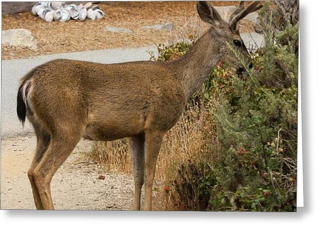 Big Sur Greeting Cards - Young Buck Eating Wildflowers Greeting Card by Patricia  Wensel