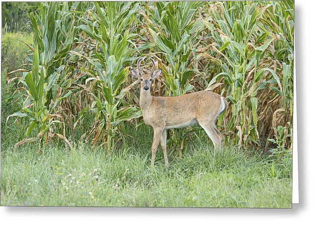 Cornfield Greeting Cards - Young Buck In Velvet 1-2015 Greeting Card by Thomas Young