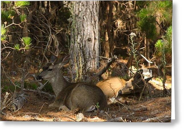 Big Sur Greeting Cards - Young Bucks Resting Greeting Card by Patricia  Wensel