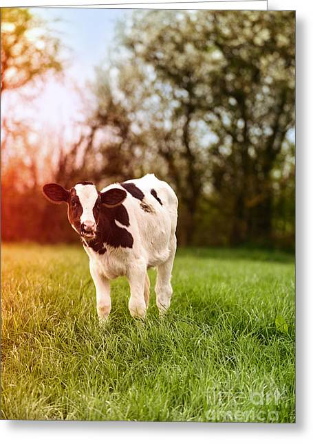 Farming Greeting Cards - Young Calf Greeting Card by Amanda And Christopher Elwell