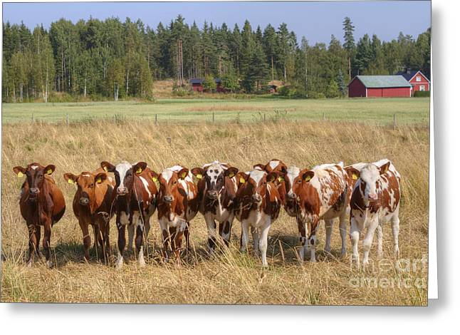 Red Barn Greeting Cards - Young calves on pasture Greeting Card by Veikko Suikkanen