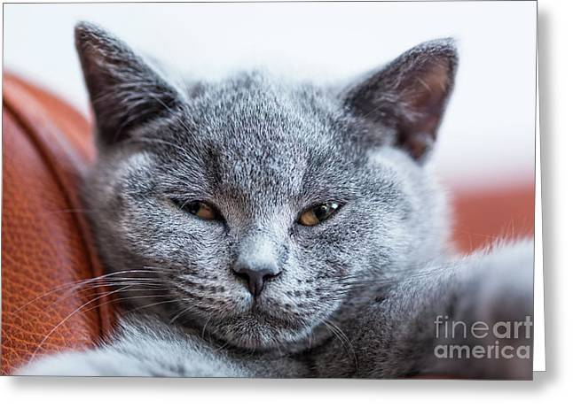 Young Cute Cat Portrait Close-up. The British Shorthair Kitten With Blue Gray Fur Greeting Card by Michal Bednarek