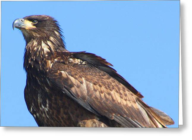 Eagle Greeting Cards - Young Eagle  Greeting Card by Nick Gustafson