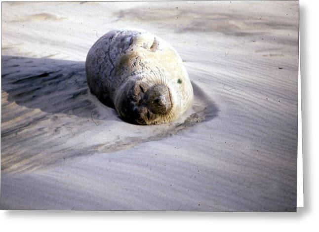 Elephant Seals Greeting Cards - Young Elephant Seal Greeting Card by Chris Gudger