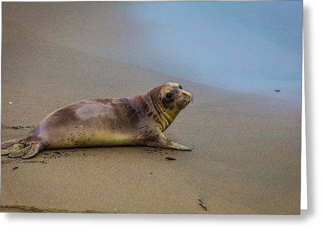 Young Elephant Seal Greeting Card by Garry Gay