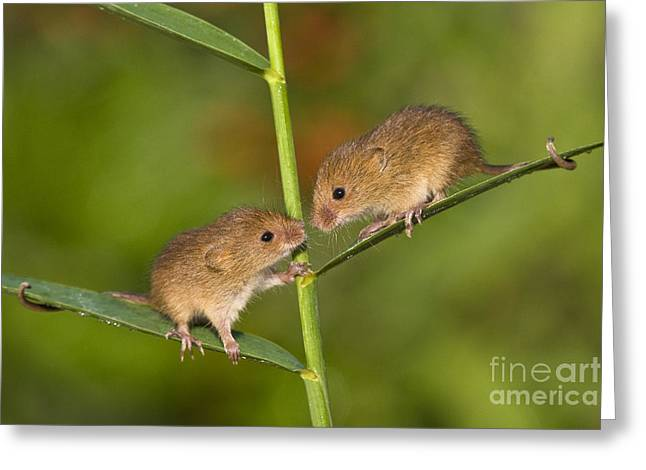 Mouse Photographs Greeting Cards - Young Eurasian Harvest Mice Greeting Card by Jean-Louis Klein & Marie-Luce Hubert