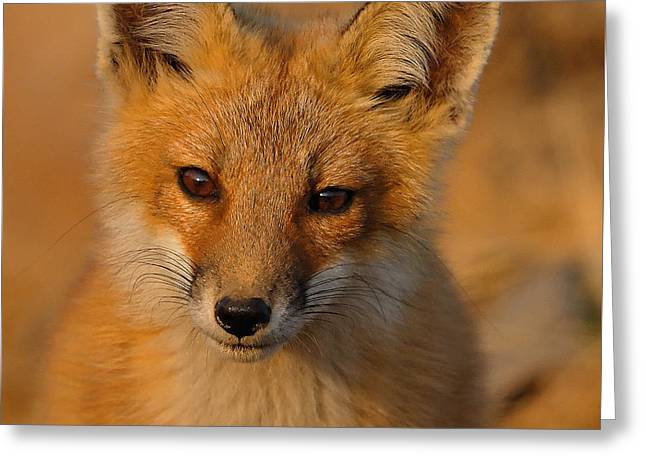 Young Fox Greeting Card by William Jobes
