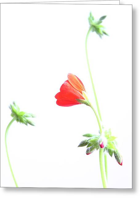 Red Geraniums Greeting Cards - Young Geranium Fine Art Photography Print Greeting Card by James BO  Insogna