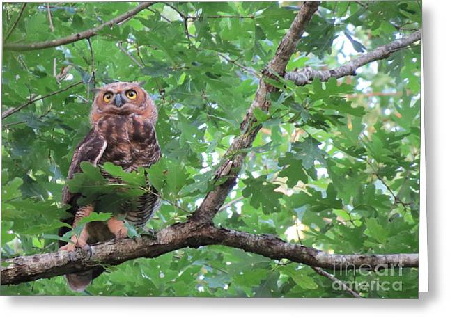 The Tiger Greeting Cards - Young Great Horned Owl In The Woods 2 Greeting Card by Charles Green