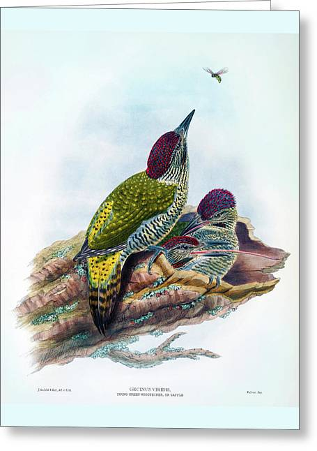 Young Green Woodpecker Antique Bird Print William Hart Birds Of Great Britain Greeting Card by John Gould - William Hart