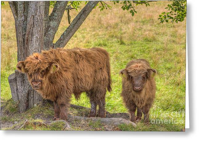 Highland Cow Greeting Cards - Young Highland Greeting Card by Veikko Suikkanen