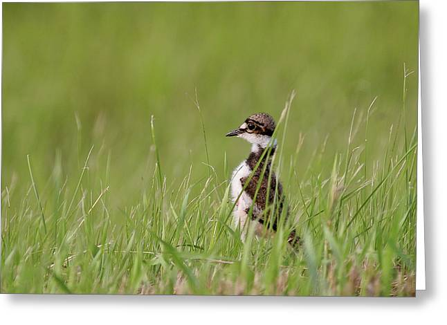 Killdeer Greeting Cards - Young Killdeer in grass Greeting Card by Mark Duffy