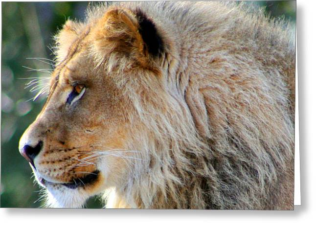 Large Cats Greeting Cards - Young King Close Up Greeting Card by Nick Gustafson