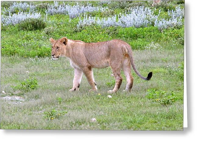 Lioness Greeting Cards - Young Lion 3 Greeting Card by Cindy Kellogg