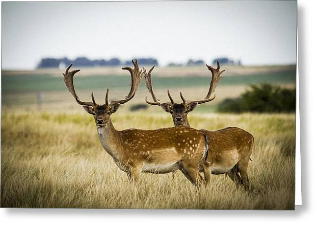 Male Native American Standing Greeting Cards - Deer in the Grassland Greeting Card by Hernan Caputo