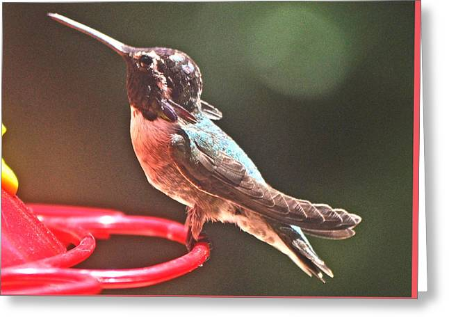 Eyebrow Greeting Cards - Young Male White Eared Hummingbird Greeting Card by Jay Milo