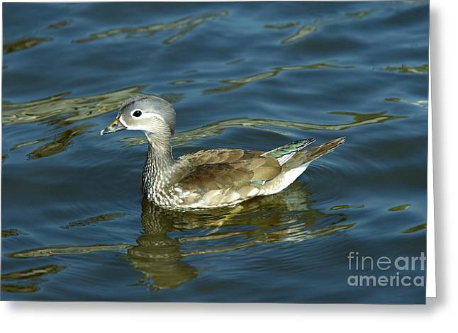 Coloured Plumage Greeting Cards - Young Of Mandarin Duck Greeting Card by Michal Boubin