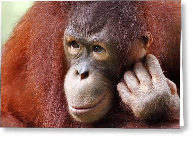 Young Orang Utan Looking Thoughtful Greeting Card by Louise Heusinkveld