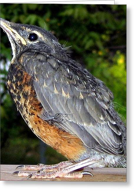 Baby Bird Greeting Cards - Young Robin Greeting Card by Will Borden
