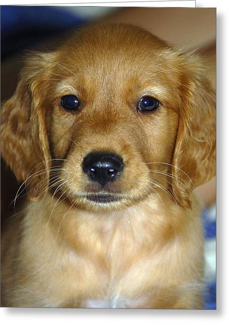 Golden Retriever Puppies Greeting Cards - Young Sam Greeting Card by Stephen Anderson