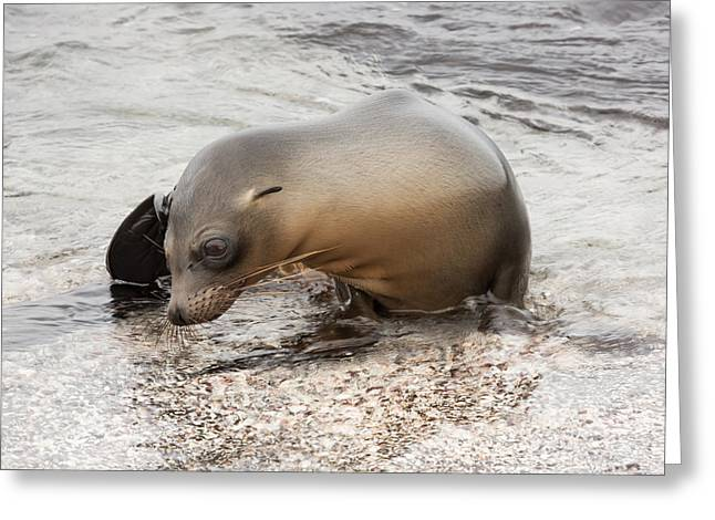 Sea Lions Greeting Cards - Young sea lion climbing Greeting Card by Guido Vermeulen-Perdaen
