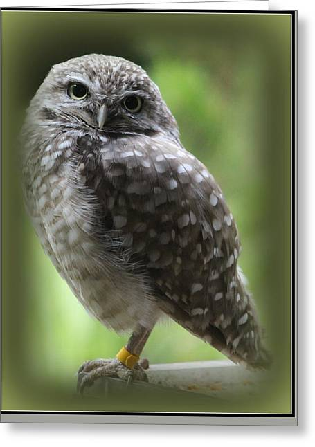 Cut-outs Greeting Cards - Young Snowy Owl Greeting Card by  Photographic Art and Design by Dora Sofia Caputo