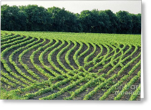 Contour Plowing Greeting Cards - Young Soybean Plants Greeting Card by Inga Spence