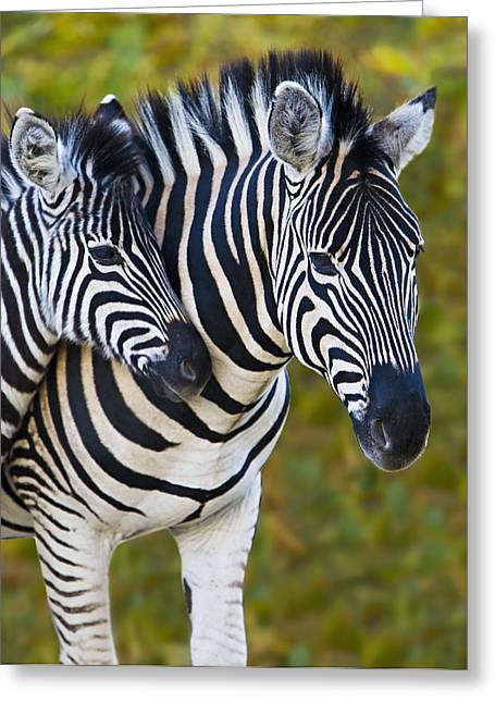 Zebra Canvas Art Prints Greeting Cards - Young Stripes Greeting Card by Basie Van Zyl