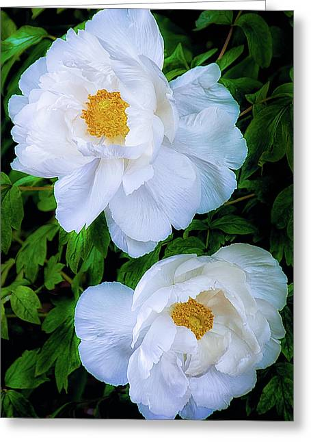 Yu Ban Bai Chinese Tree Peonies Greeting Card by Julie Palencia