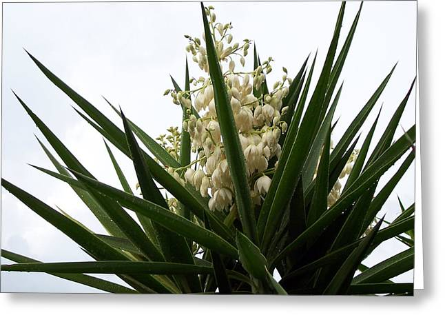 Rain Drop Mixed Media Greeting Cards - Yucca flowers Greeting Card by Evelyn Patrick