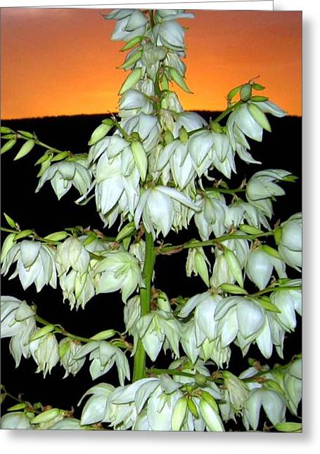 Yucca Sunset Greeting Card by Will Borden