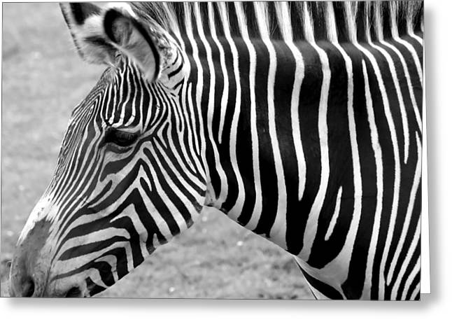 Monotone Color Greeting Cards - Zebra - Here it is in Black and White Greeting Card by Gordon Dean II