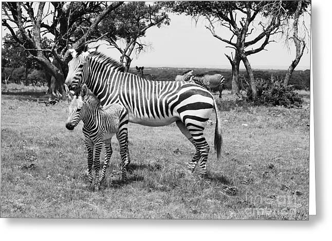Zebra Picture Prints Greeting Cards - Zebra Baby and Mother Greeting Card by Venus