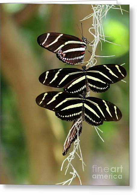 Zebra Butterflies Hanging On Greeting Card by Sabrina L Ryan