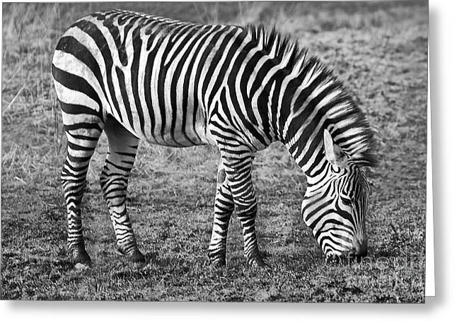 Zebra Eating Greeting Cards - Zebra Greeting Card by Naman Imagery
