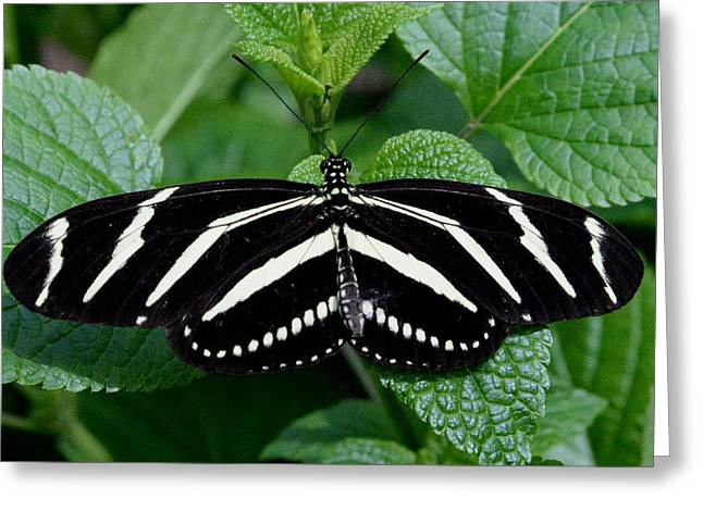 Butterlfy Greeting Cards - Zebra Longwing Butterfly Greeting Card by Erin  O