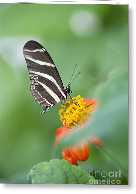 Zebra Longwing Butterfly Greeting Card by Tim Gainey