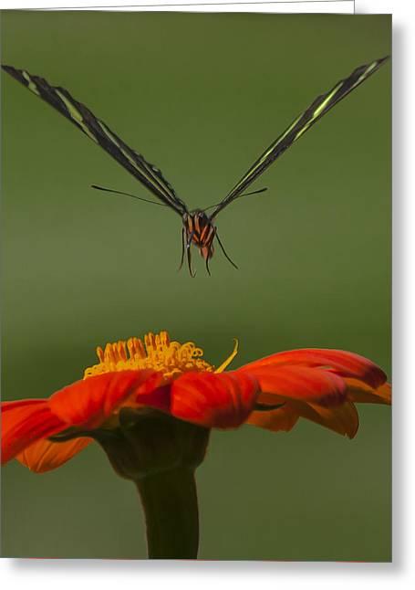 Flight Glass Greeting Cards - Zebra Longwing in Flight Greeting Card by Edelberto Cabrera