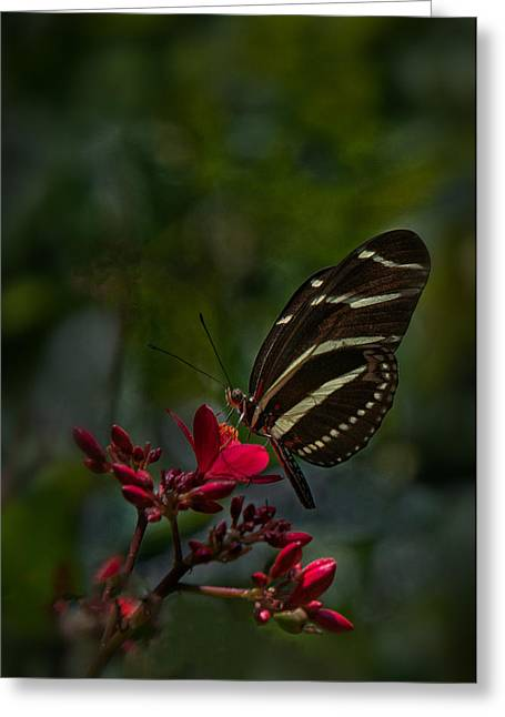 Mectar Greeting Cards - Zebra Longwing on Red Flower Greeting Card by Lynnae Pedersen