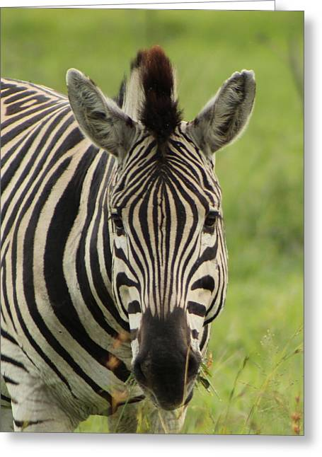 Zebra Looking At You Greeting Card by Denise Dean