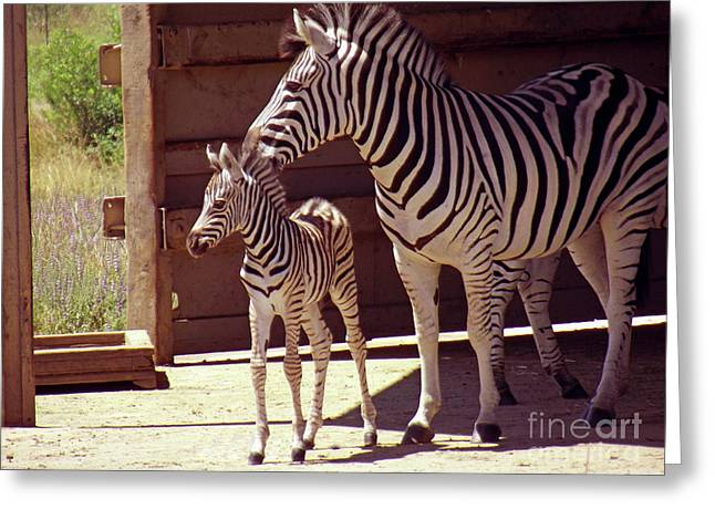 Zebra Colt Greeting Cards - Zebra Mom and Baby Greeting Card by Methune Hively