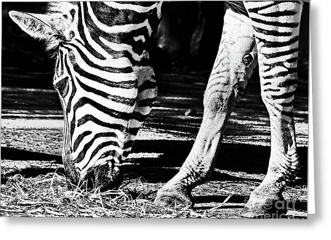 Zebra Portrait Black And White By Kaye Menner Greeting Card by Kaye Menner