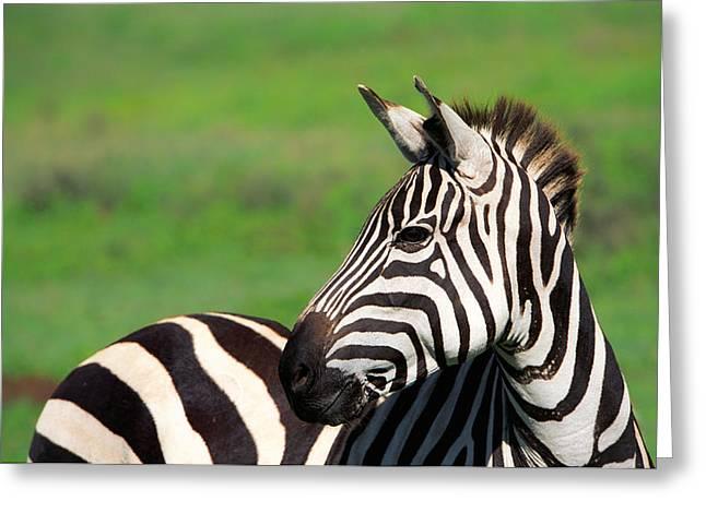 Zebra Greeting Card by Sebastian Musial