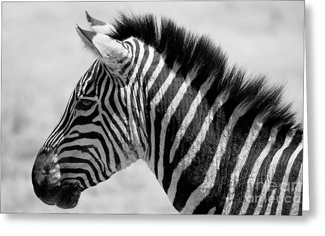 Scenic Drive Greeting Cards - Zebra Stripes Greeting Card by Shawn Dechant